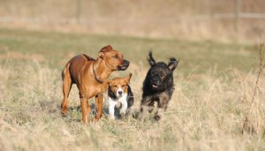 Training Erwachsene Hunde